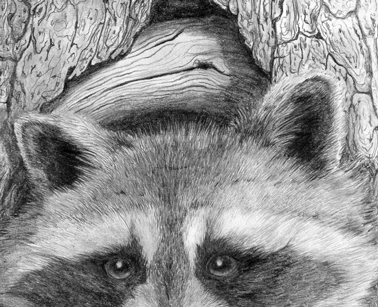 Pencil Drawings: Pencil Drawings Of Wildlife Raccoon Drawing