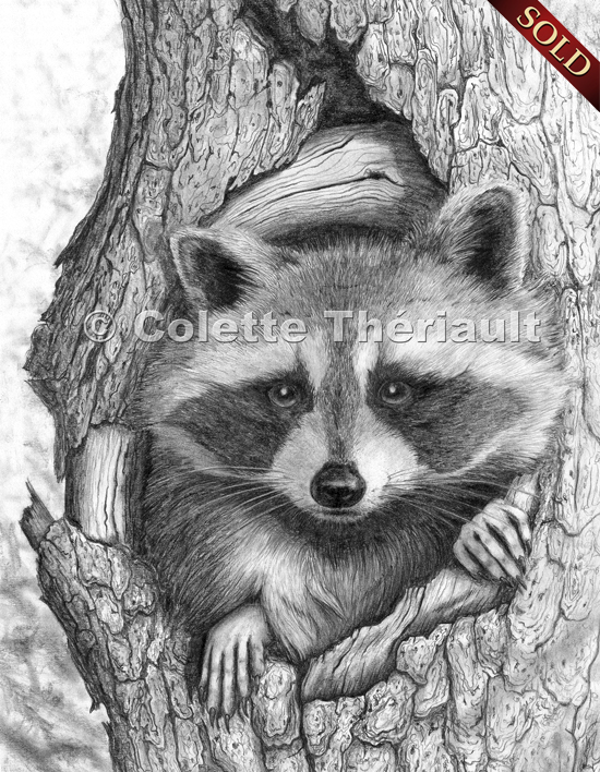 Raccoon wildlife drawings