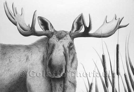 Bull Moose Wildlife Drawing & Painting