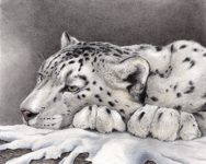 Asian Snow Leopard Drawing