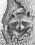 Raccoon Graphite Pencil Drawing