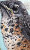 American Robin Fledgling Painting
