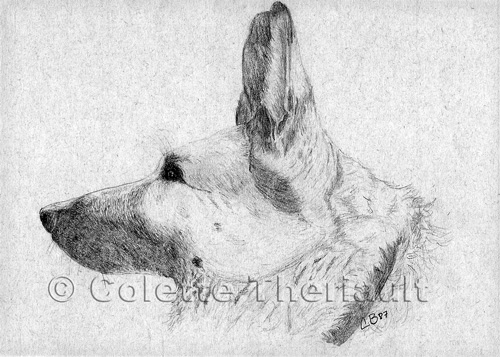 German Shepherd/Yellow Labrador mix pet portrait