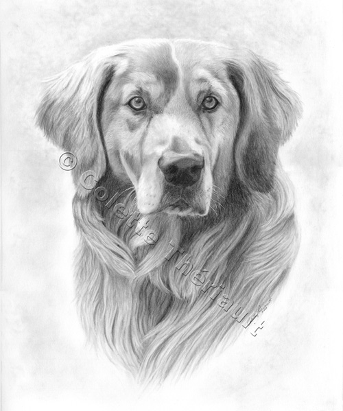 Golden Retriever Drawing-Pet Portraits