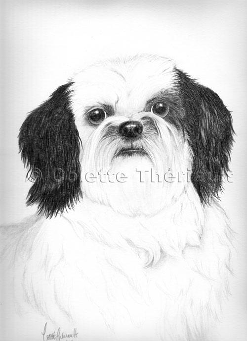 Shih Tzu Drawing-Pet Portraits