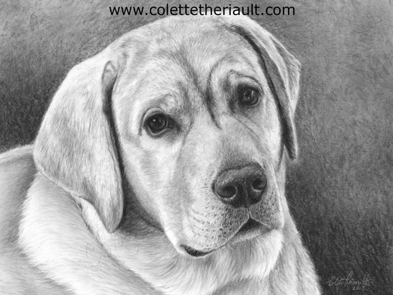 yellow Labrador retriever dog pencil drawing