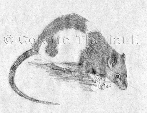 Rat Small Animal Roden Pet Portrait