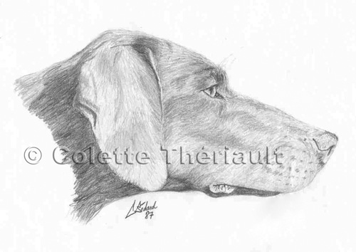 Head study of a pointer