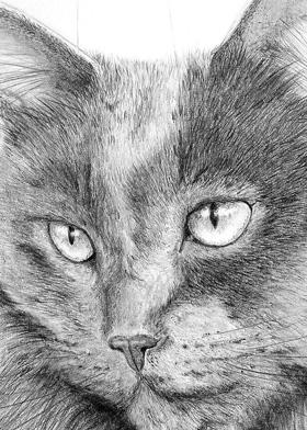 Russian Blue Cat Custom Graphite Pencil Cat Pet Portrait