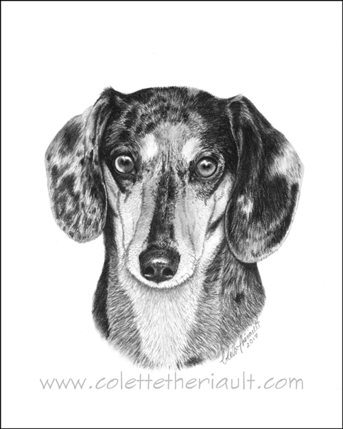 short haired dachshund portrait