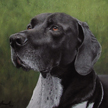 German Short Haired Pointer Portrait