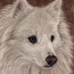 American Eskimo (miniature) Portrait