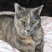 Tortoiseshell cat painting in pastel