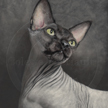 hairless cat painting