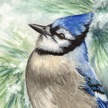 blue jay painting in pastel by Canadian Wildife artist Colette Theriault