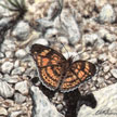 checkerspot butterfly painting