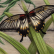 Great Mormon butterfly painting