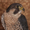 peregrine falcon painting for sale