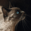 Siamese cat portrait in pastel