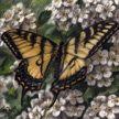 Canadian Tiger Swallowtail Butterfly Painting