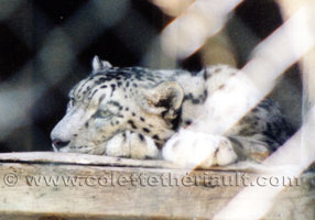 Reference photograph of snow leopard