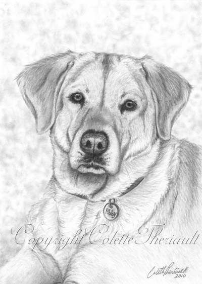 Yellow Labrador Drawing