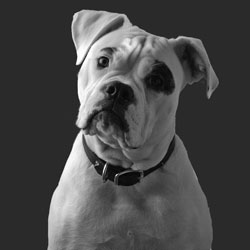 Reference photo of American Bulldog