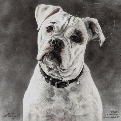 American Bulldog portrait in pencil by Colette Theriault