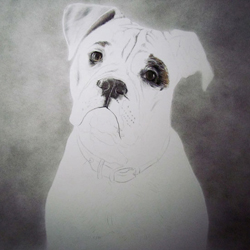 Dog Pencil Portrait Progress 2