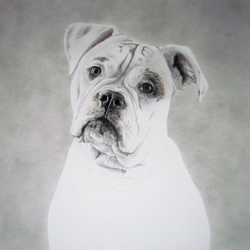 Dog Pencil Portrait Progress 3