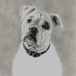 Work In Progress Of American Bulldog Original Pencil