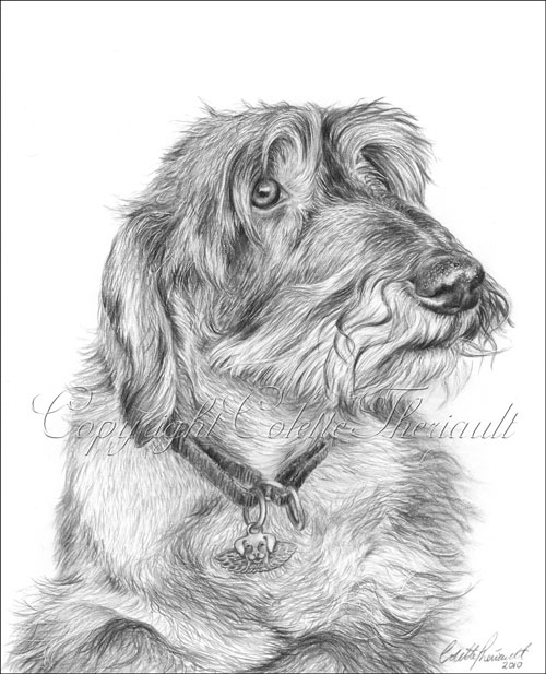 Wire-Haired Dachshund Dog Drawing