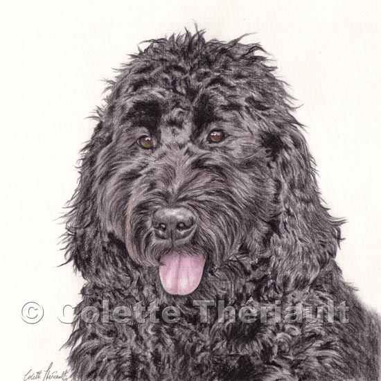 Labradoodle colored pencil enhanced graphite portrait drawing