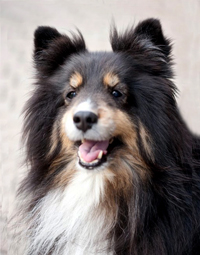 Tricolored Shetland sheepdog reference