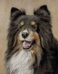 Tricolored sheltie portrait step 5