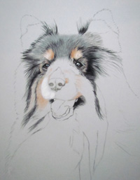 Tricolored sheltie portrait step 2