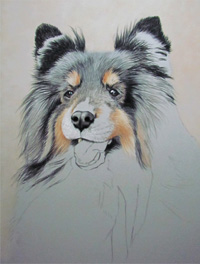 Tricolored sheltie portrait step 3
