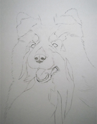 Tricolored sheltie portrait sketch
