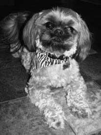 Shih Tzu reference photo