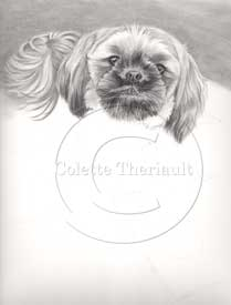 Shih tzu portrait step 3