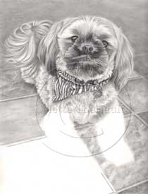 Shih tzu portrait step 4