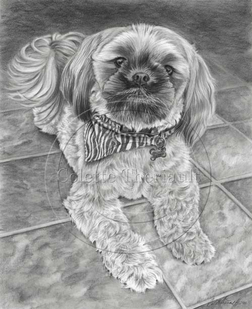 Shih Tzu Pencil Drawing Pet Portrait