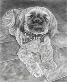 Shih Tzu portrait step 5