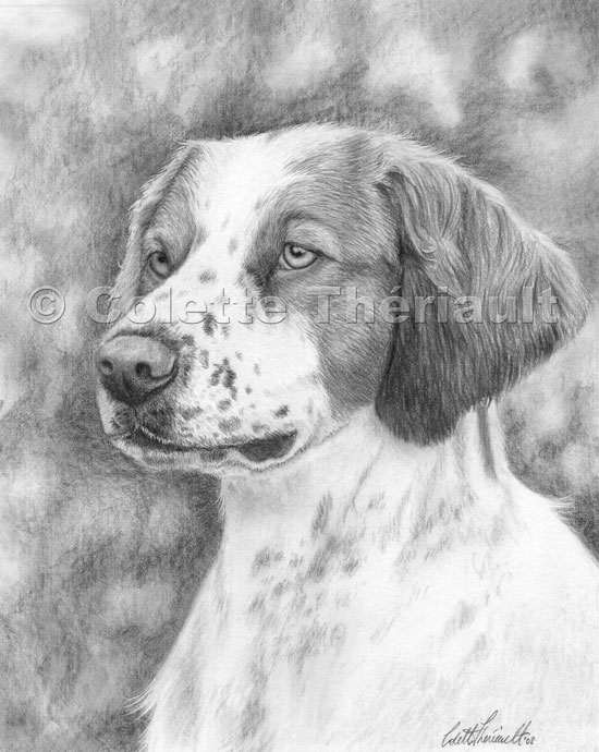 Brittany Spaniel Pencil  Drawing-Pet Portraits