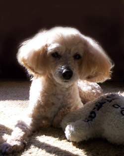 Maltese poodle mix photo
