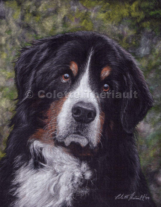 Bernese Mountain Dog Pastel Pet Portraits