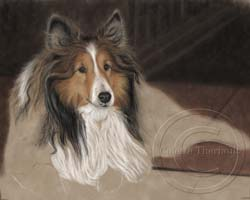 Step 6-Sheltie portrait