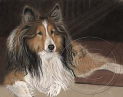 Sheltie portrait in progress