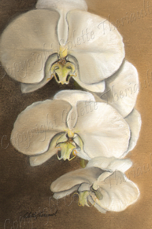 Moth Orchid Painting in Pastel by botanical artist Colette Theriault