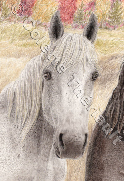 Grey Percheron -Pet Portrait Drawing